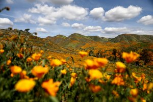 "A ""super bloom"" of wild poppies blankets the hills of Walker Canyon on March 22, 2019, near Lake Elsinore.(Credit: Mario Tama/Getty Images)"