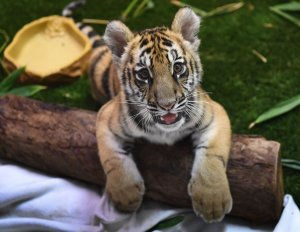 A young Bengal tiger cub smuggled into the U.S. and seized at the Mexico border is displayed for the media in Torrance on Oct. 20, 2017. (Credit: Mark Ralston / AFP / Getty Images)